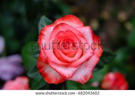rose #682043602