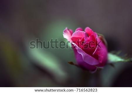 rose #716562823