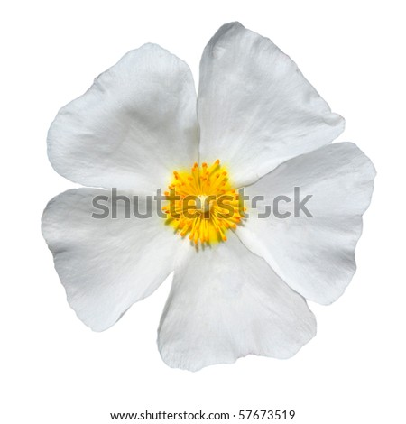 Rose Alba - Closeup on Beautiful White Rose Isolated on White Background. Top view