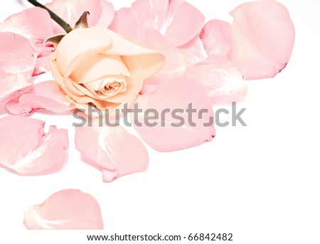 rose among petals, isolated