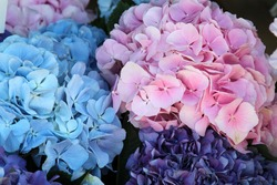 Rose and blue hydrangea. High quality photo. Selective focus