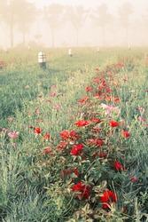 rose and fog