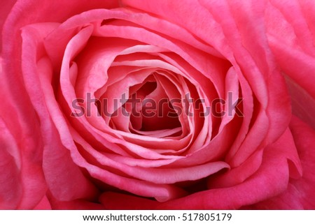 Rose Background and texture photography #517805179