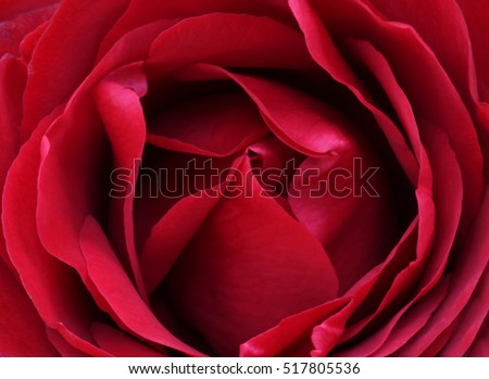 Rose background and texture photography #517805536
