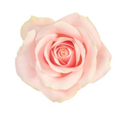 Rose blossom on white background