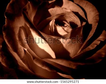 rose blossom  sepia coloured photography