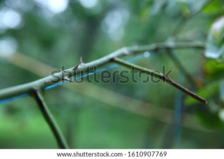 Rose branch with thorns .stem of rose bush with thorns . part of the stem roses with thorns . rose thorn in the garden on a blurred and green background.