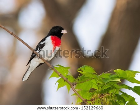 Rose-breasted Grosbeak perched on the branch of a maple tree. Bright red breast stand out against its white and black feathers. Background is soft soft sky blues and out soft focus tree branches.