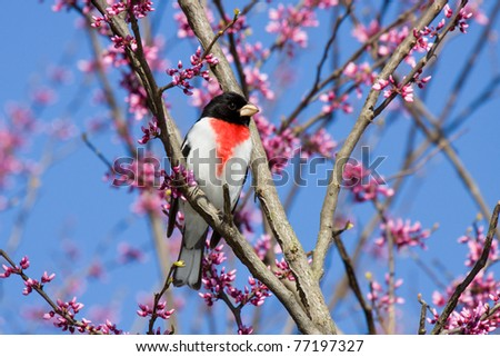 rose-breasted grosbeak perches in a redbud tree. tree is in bloom with pink and white flowers. background consists of shallow focus of sky blue, pink and white blooms of the tree.