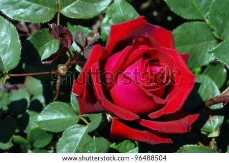 Rose bud on the rosebush
