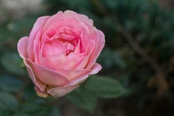 Rose can be so beuatiful