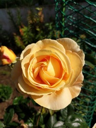 Rose Candlelight Large, densely doubled, dark yellow flowers with a strong noble scent of roses on long, strong stems.