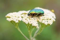 Rose Chafer beetle - Cetonia aurata, beautiful metallic beetle from European meadows, Stramberk, Czech Republic.