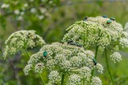 Rose chafer beetles on plants