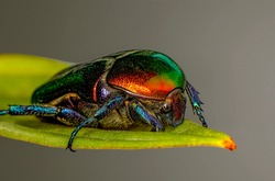 Rose chafer, Cetonia aurata, beautiful iridescent beetle. Extreme macro.