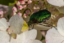 Rose Chafer (Cetonia Aurata), (Cetoniinae). Green bronze beetle on a flowering hydrangea. Macro photo. Close-up.