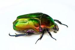 Rose chafer, Cetonia aurata, isolated on white background. Beautiful iridescent beetle. Extreme macro.