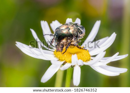 Rose chafer - Cetonia aurata - resting on Leucanthemum blossom - marguerite Stock foto ©