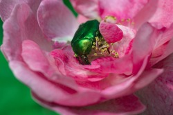 Rose chafer feeding on a flower. Macro of a rose chafer in the bloom of a  rose.