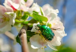 Rose chafer on the apple tree flowers on blurred background. Cetonia aurata, called the rose chafer or the green rose chafer, is a beetle, that has a metallic structurally coloured green.