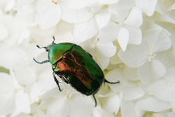 Rose chafer or green rose chafer (Cetonia aurata) on white hydrangea flowers close up
