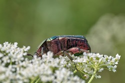 Rose chafer or the Green rose chafer (Cetonia aurata) on white flowers. Beautiful green insect. Scarab beetle.