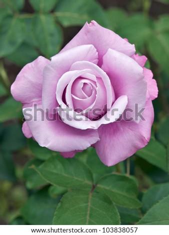 Rose: Charles de Gaulle