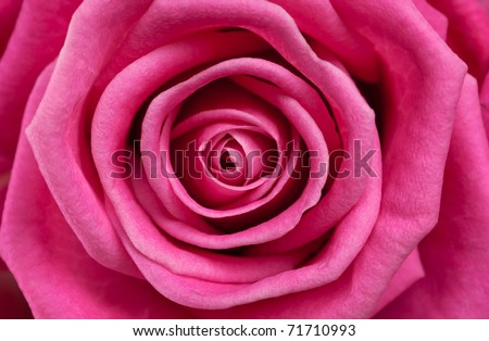 Rose close-up as background