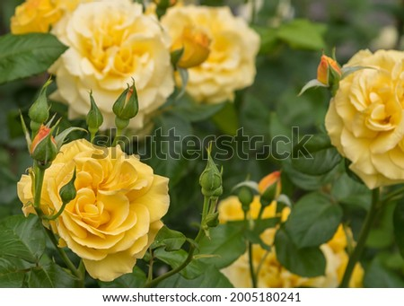 Rose Dania, a large luscious blooms of yellow. Selected sorts of exquisite roses for parks, gardens, beds, and borders, decoration in the entrance area Zdjęcia stock ©