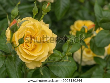 Rose Dania, a large luscious blooms of yellow. Selected sorts of exquisite roses for parks, gardens, beds, and borders, decoration Zdjęcia stock ©