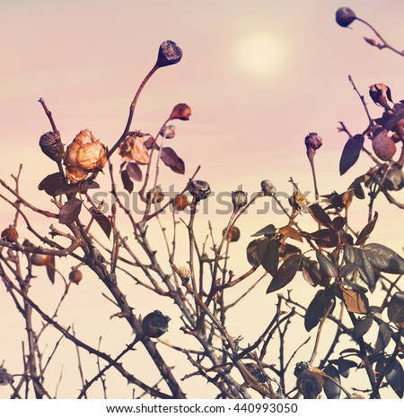 Shutterstock Rose faded (died down). Dry flowers bush. Autumn garden. Pink sunrise sky in the blur background.The end of the season. Parting. Nature abstract. Toned colors