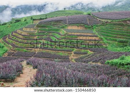 Rose field with Vegetable field in Sapa Vietnam