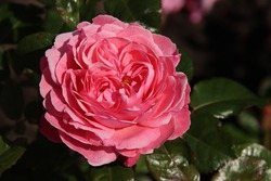 Rose Flora Colonia in the Flora Rosarium in the village of Boskoop in the Netherlands in pink color