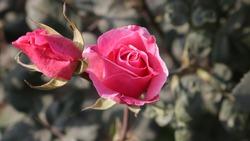 Rose Flower at Rajghat - Delhi