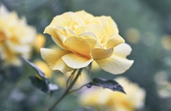 Rose flower bloom on a background of blurry yellow roses in a roses garden.