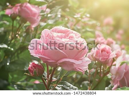 Rose flower blooming on blurry roses background  in spring flowering roses garden.
