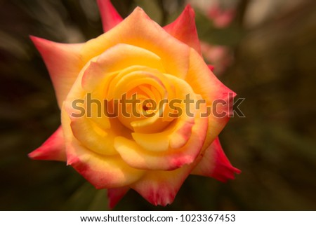 Rose flower combined colors, yellow and orange #1023367453