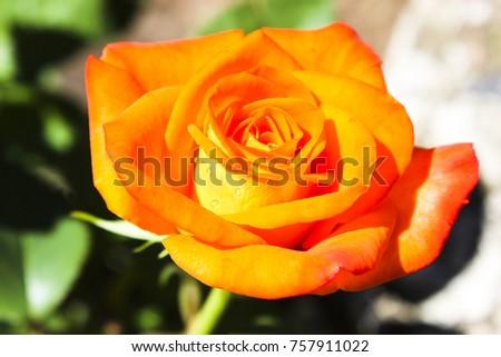 rose flower floral #757911022
