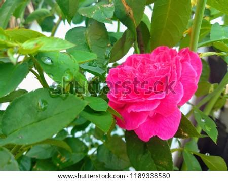 rose flower , Good Natured beautiful pic
