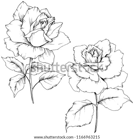 Rose flower in a style isolated. Full name of the plant: rose. flower for background, texture, wrapper pattern, frame or border.