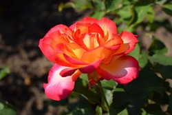 Rose flower in rays of the sun. Rose