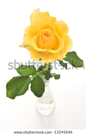 rose flower in vase on white background