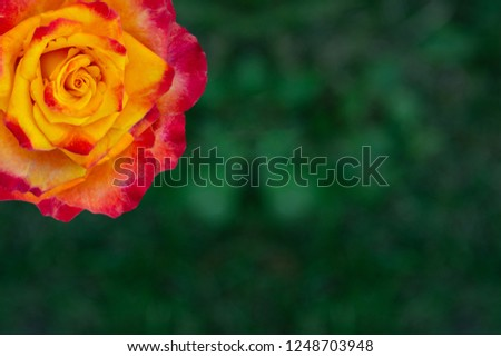 Rose flower in yellow orange red on a green background.
