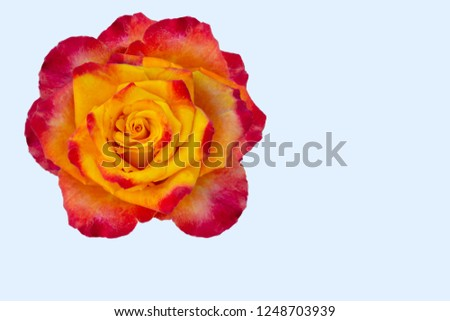 Rose flower isolate in yellow orange red color palette.