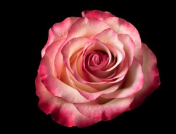 Rose flower on a dark abstract background