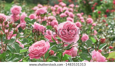 Rose flower on background blurry pink roses flower in the garden of roses. Nature.