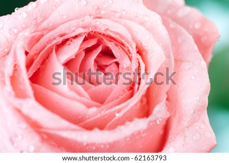 Rose flower. Over white background