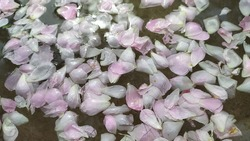 Rose flower pink and white petals floating water surface. Elegant and luxury spa, aromatic, aroma, Ayurveda, aromatherapy and wellness abstract advertise background. Closeup macro flat lay top view.