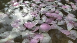 Rose flower pink petals floating water surface with natural sun light ray or sky reflection. Elegant and luxury spa, aromatic, aroma, Ayurveda, aromatherapy and wellness abstract advertise background.