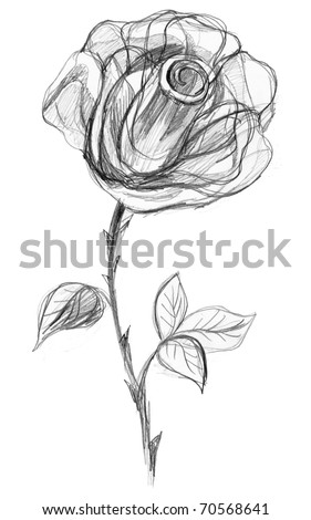 rose flower sketch. stock photo : Rose flower